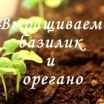 Как вырастить базилик и орегано на подоконнике