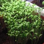 Овощные проростки для вашего салата